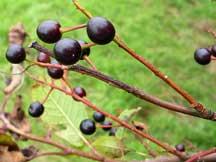 Bird cherry fruit on tree