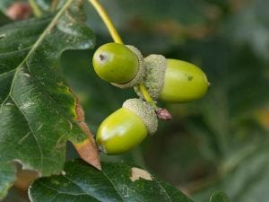 Mature pedunculate oak acorns on the tree