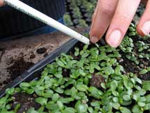 Pricking out young gorse plants