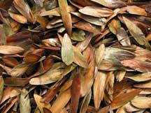 Ash seeds drying