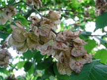 Wych elm fruits on tree