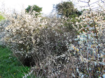Blackthorn shrub