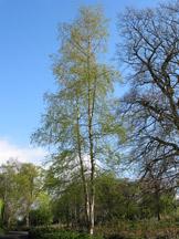 Silver birch in spring