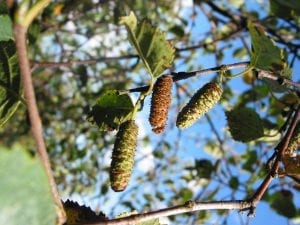 Silver birch seeds ripening on the tree