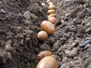 Sowing acorns in drills