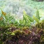 Ferns growing on oak branch