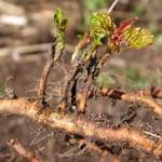Wild cherry root suckers