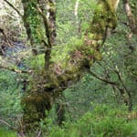 Old sessile oak tree