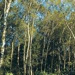 Silver birch woodland
