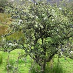 Blackthorn shrub