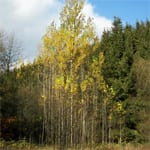 Aspen colonising new ground