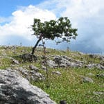 Hawthorn on limestone pavement