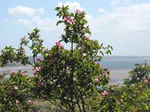 Dog rose plant