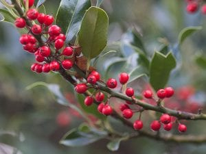 Holly berries on a holly tree