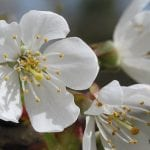 Wild cherry flowers in spring