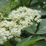 Elder flowers in June