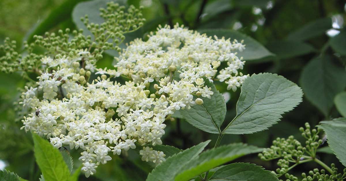 Elder (Sambucus nigra) | How to Identify Elder | A Guide