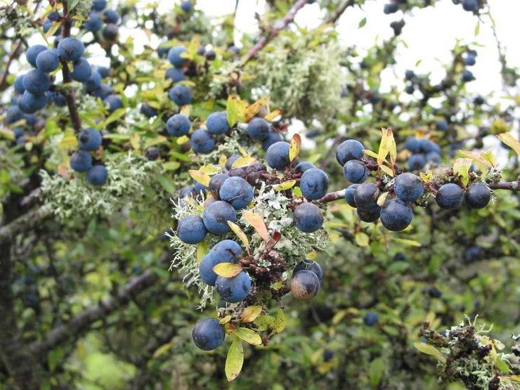 Shrub Berries 50 seeds Sloe // Blackthorn Prunus Spinosa Fruit