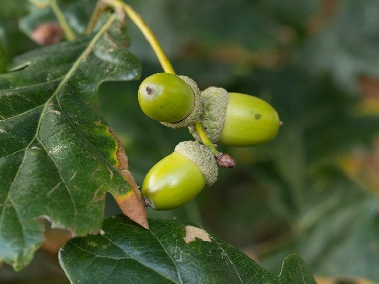 Acorns of the pedunculate oak