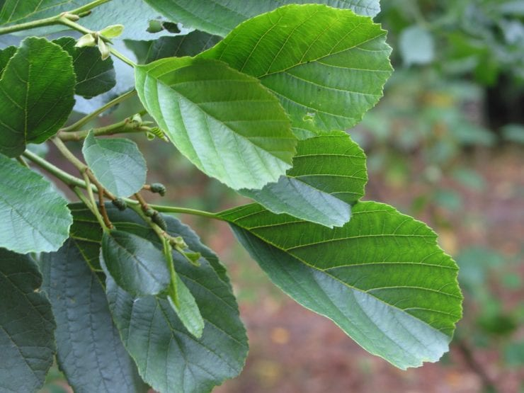 Leaves of an alder tree