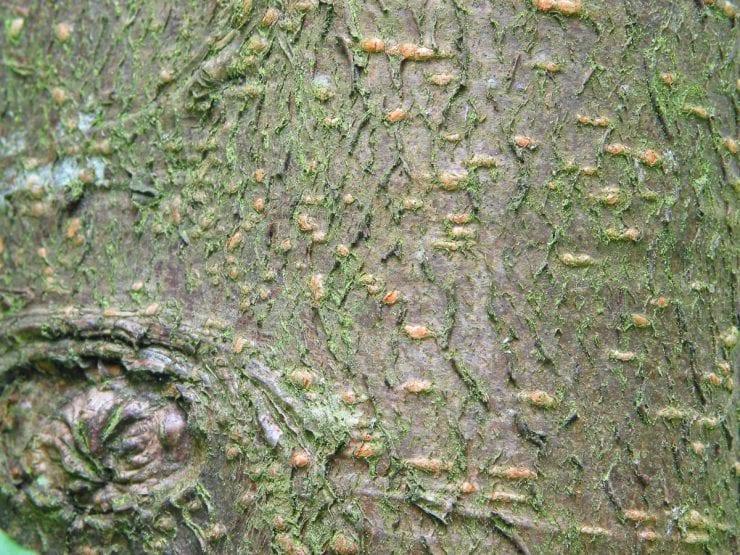 The bark of a bird cherry