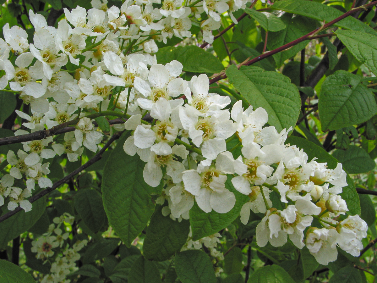 Bird Cherry How To Grow Trees