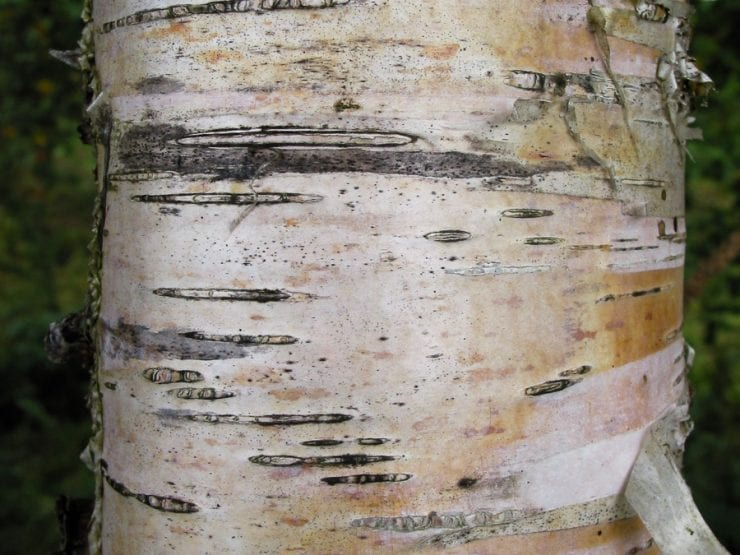 The bark of a young downy birch tree