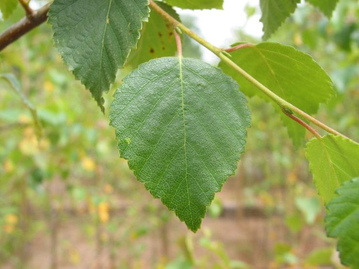Young downy birch leaves
