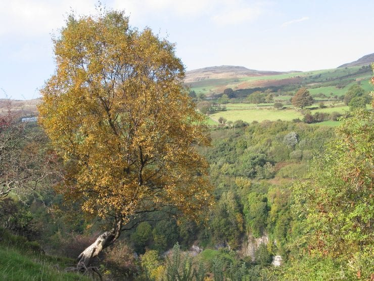 A downy birch tree growing in County Antrim, Northern Ireland