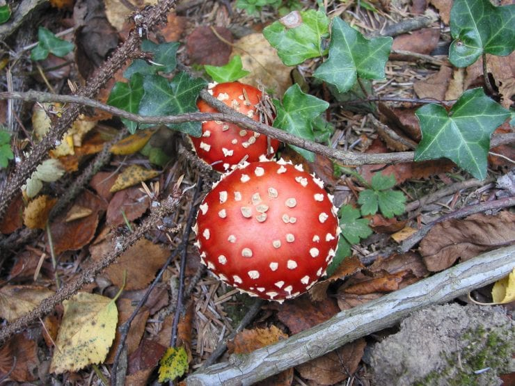 Fly agaric mushrooms under a birch tree