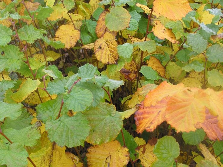 Hazel in autumn with yellowing leaves