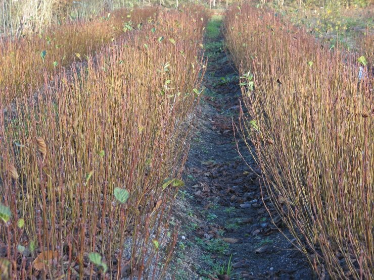 Young alder trees in nursery beds