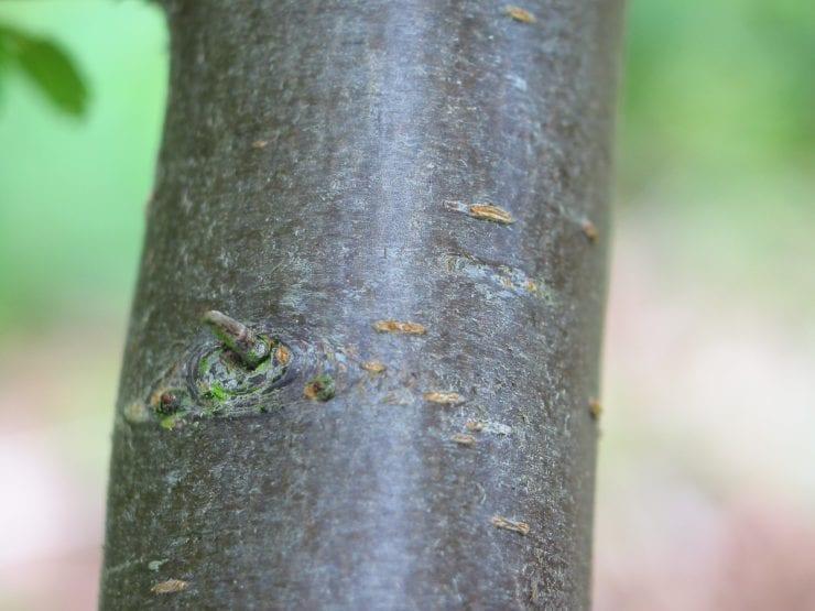 The bark of a blackthorn