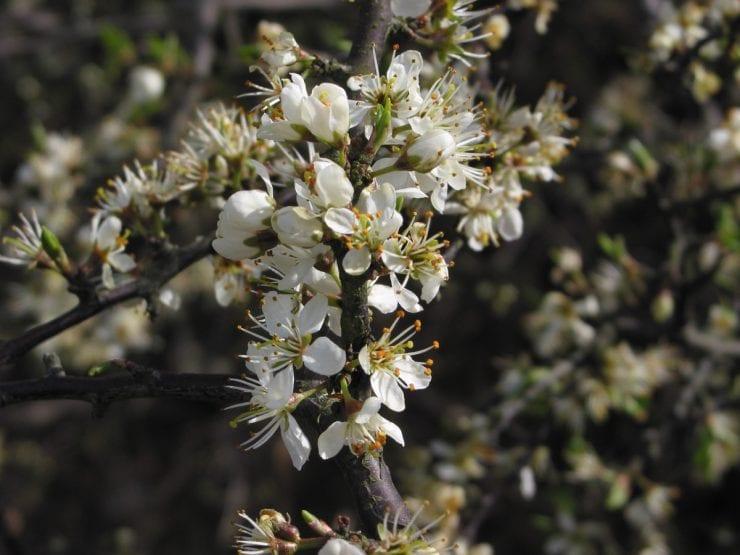 Clusters of blackthorn flowers