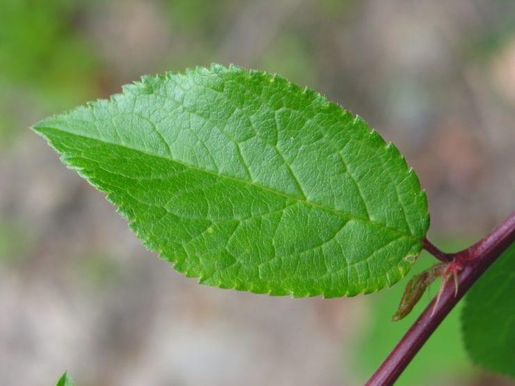 Blackthorn leaf