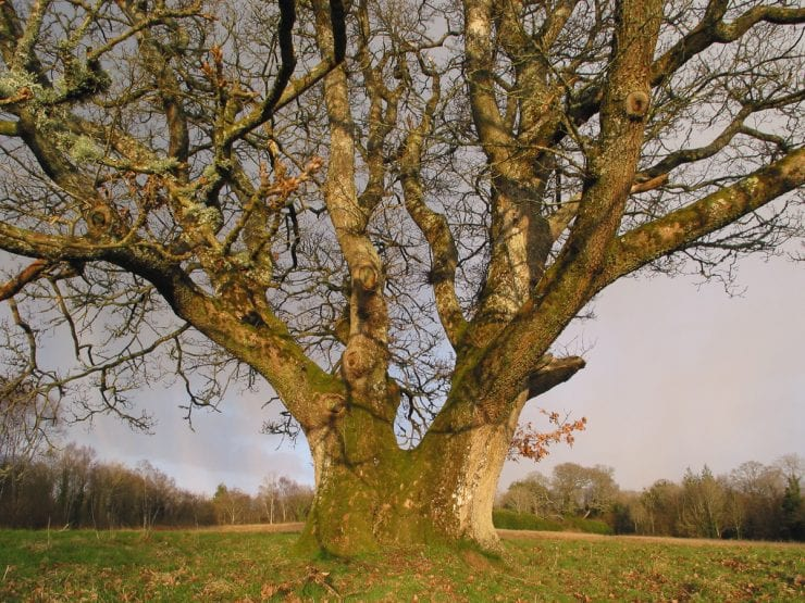 A large pedunculate oak growing in a field