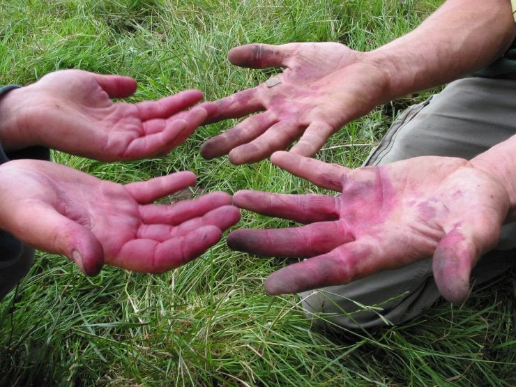 Stained hands from collecting cherries