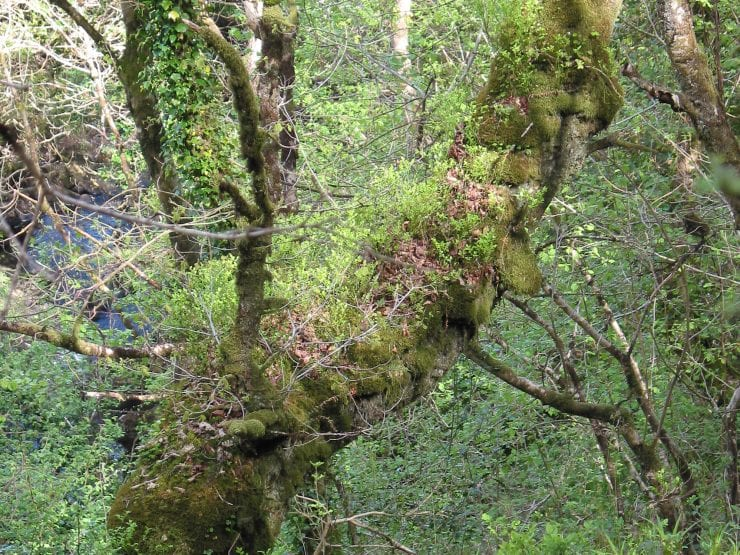 A sessile oak trunk covered in moss and ferns