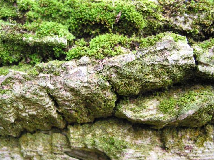 Bark of an elder tree