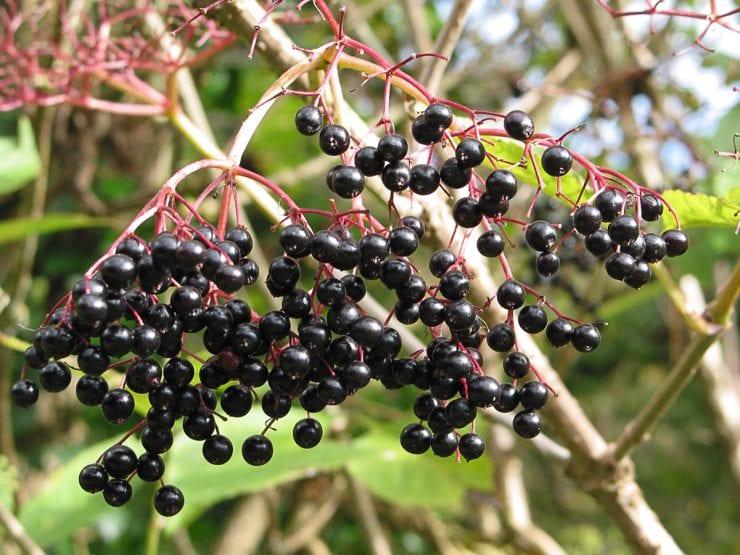Ripe elder berries hanging in a bunch
