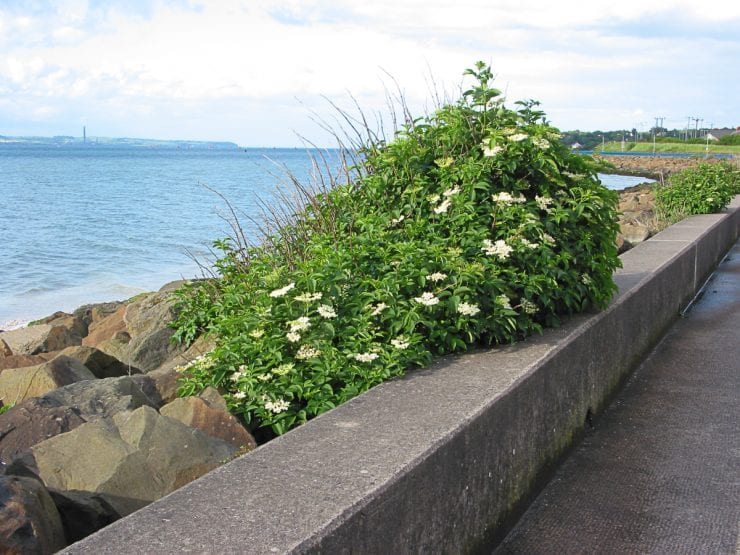 An elder growing at the coast