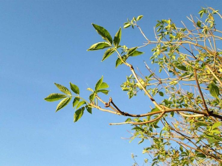 Elder leaves viewed against a blue sky