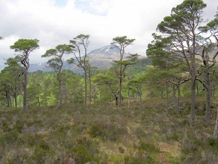 Scots pine in Scotland