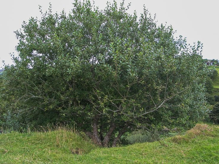 A goat willow tree