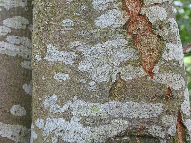 Goat willow bark