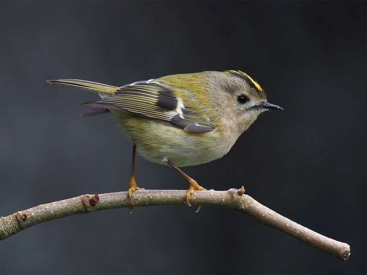 Goldcrest on a twig