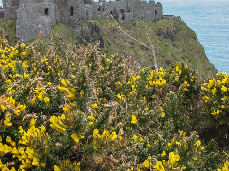 Gorse on cliffs with a ruined castle behind