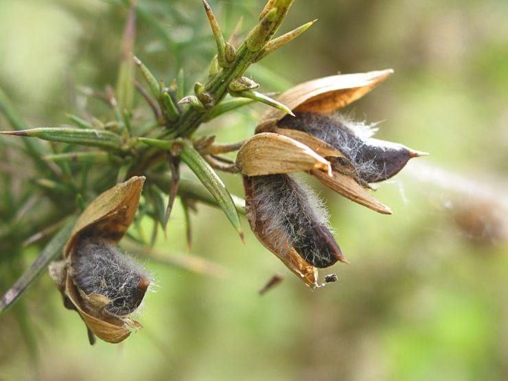 Gorse pods still on the plant