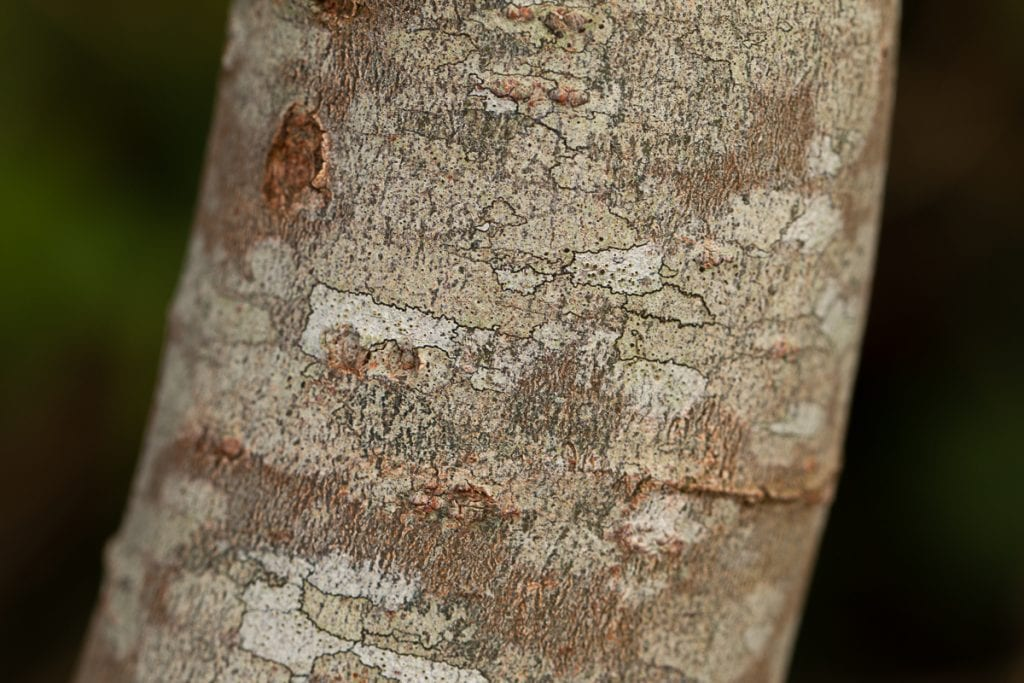 Grey willow bark