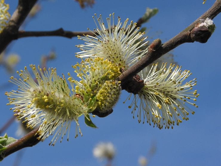 Grey willow catkins in spring